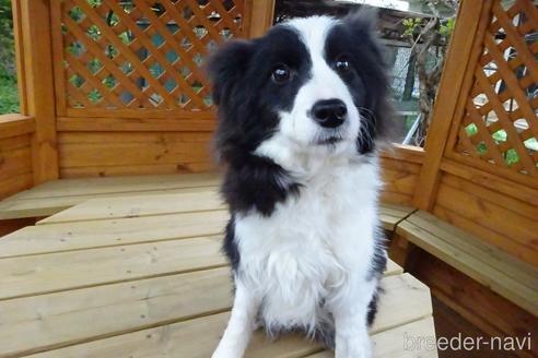 ボーダーコリーの子犬(ID:1273611122)の1枚目の写真/更新日:2020-07-05