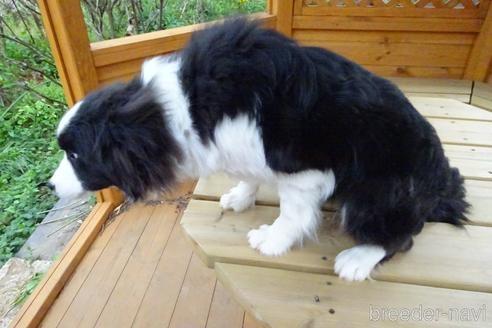 ボーダーコリーの子犬(ID:1273611122)の3枚目の写真/更新日:2020-07-05