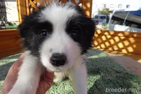 ボーダーコリーの子犬(ID:1273611135)の1枚目の写真/更新日:2021-10-19