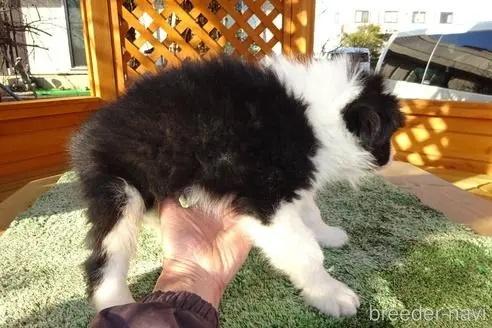 ボーダーコリーの子犬(ID:1273611135)の2枚目の写真/更新日:2021-10-19