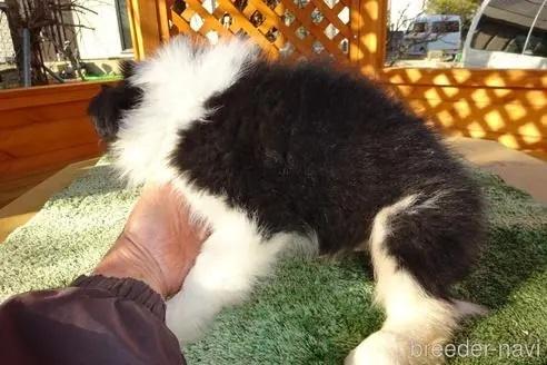 ボーダーコリーの子犬(ID:1273611135)の3枚目の写真/更新日:2021-10-19