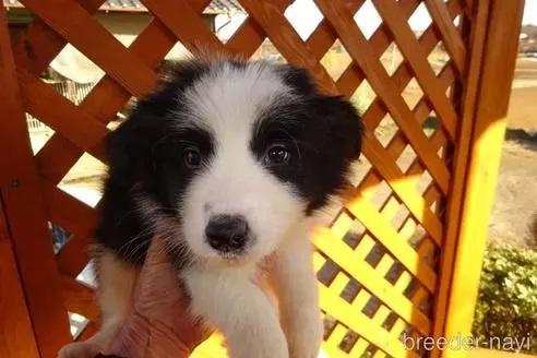ボーダーコリーの子犬(ID:1273611135)の4枚目の写真/更新日:2021-10-19