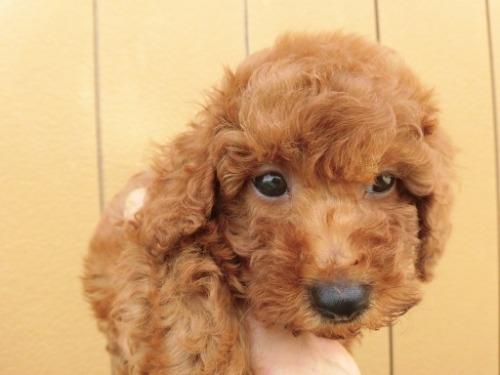 トイプードルの子犬(ID:1273611143)の1枚目の写真/更新日:2020-09-23