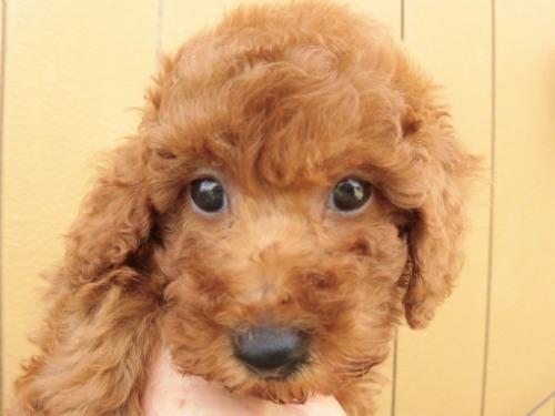 トイプードルの子犬(ID:1273611143)の2枚目の写真/更新日:2020-09-23