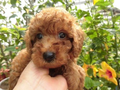 トイプードルの子犬(ID:1273611144)の1枚目の写真/更新日:2020-09-23