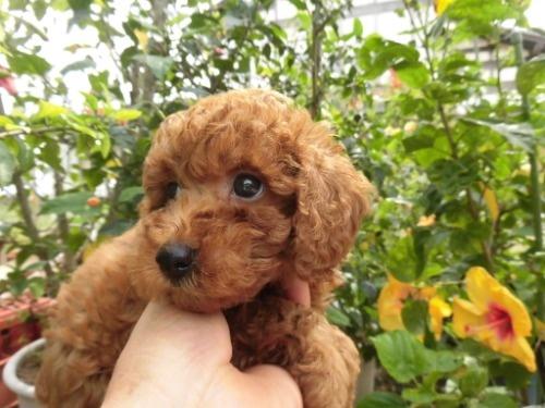 トイプードルの子犬(ID:1273611144)の2枚目の写真/更新日:2020-09-23