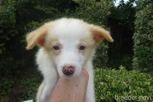 ボーダーコリーの子犬(ID:1273611149)の1枚目の写真/更新日:2021-10-19