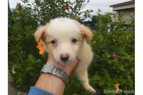 ボーダーコリーの子犬(ID:1273611149)の2枚目の写真/更新日:2021-10-19