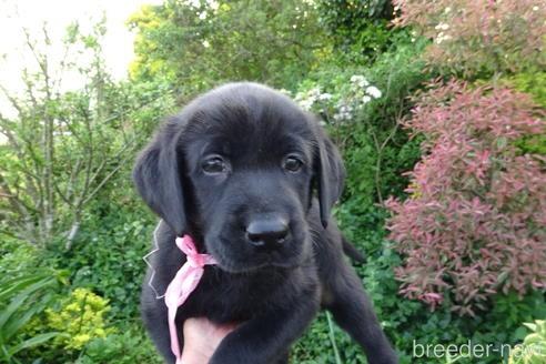 ラブラドールレトリバーの子犬(ID:1273611156)の1枚目の写真/更新日:2021-07-29