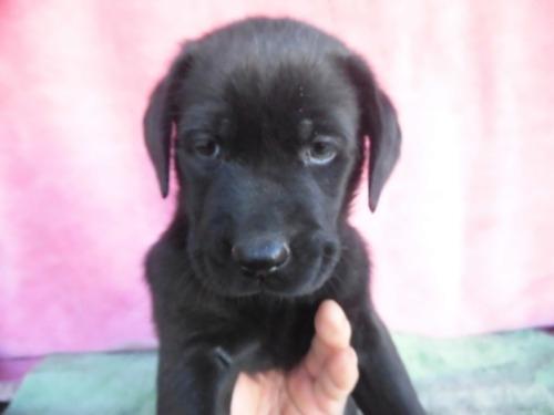 ラブラドールレトリバーの子犬(ID:1273611173)の2枚目の写真/更新日:2021-03-16