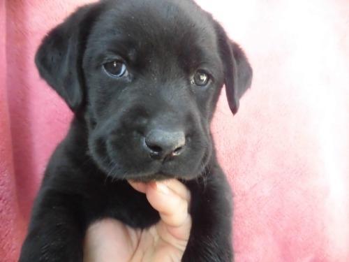 ラブラドールレトリバーの子犬(ID:1273611176)の1枚目の写真/更新日:2021-03-19