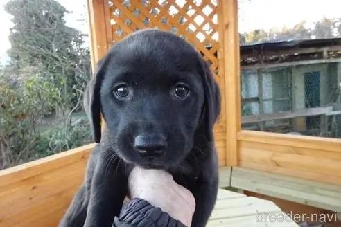 ラブラドールレトリバーの子犬(ID:1273611177)の1枚目の写真/更新日:2021-03-24