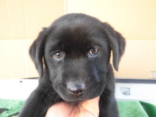 ラブラドールレトリバーの子犬(ID:1273611179)の1枚目の写真/更新日:2021-04-10