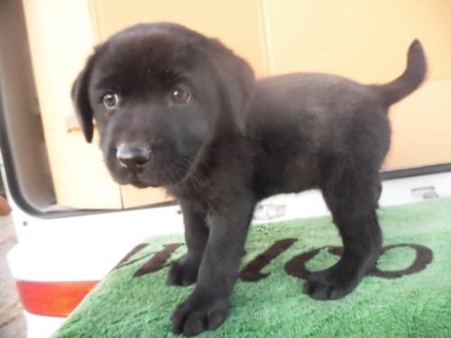 ラブラドールレトリバーの子犬(ID:1273611179)の2枚目の写真/更新日:2021-04-10