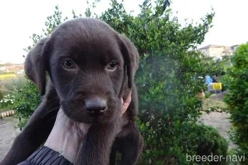 ラブラドールレトリバーの子犬(ID:1273611191)の2枚目の写真/更新日:2021-10-05