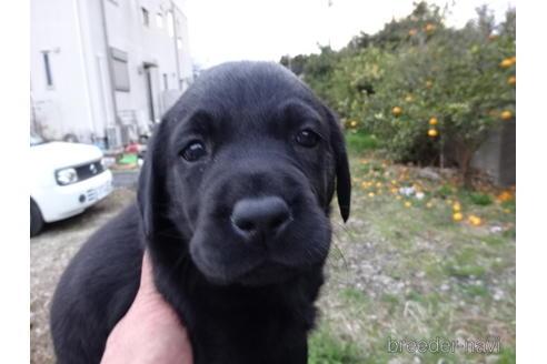 ラブラドールレトリバーの子犬(ID:1273611193)の1枚目の写真/更新日:2021-07-29