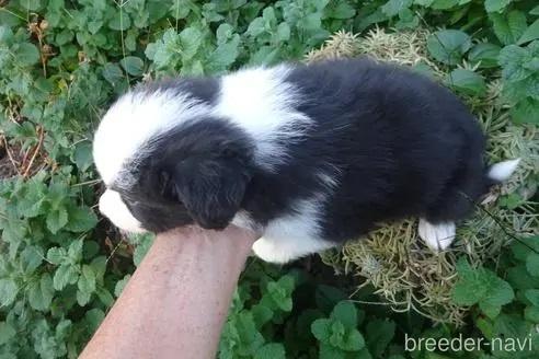 ボーダーコリーの子犬(ID:1273611200)の4枚目の写真/更新日:2021-10-05