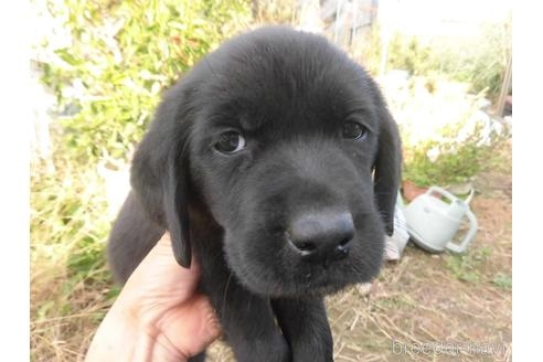 ラブラドールレトリバーの子犬(ID:1273611211)の1枚目の写真/更新日:2021-07-23