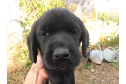 ラブラドールレトリバーの子犬(ID:1273611211)の2枚目の写真/更新日:2021-07-23