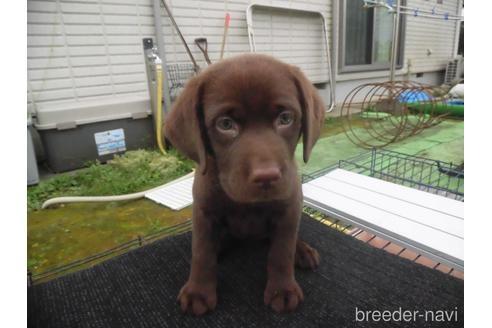 ラブラドールレトリバーの子犬(ID:1273611216)の1枚目の写真/更新日:2021-10-19