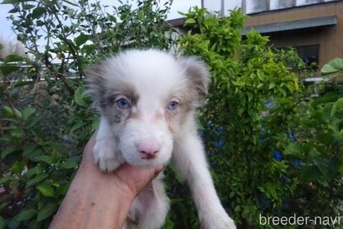 ボーダーコリーの子犬(ID:1273611217)の1枚目の写真/更新日:2021-09-28