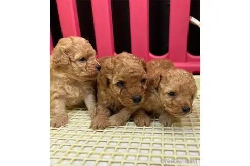 トイプードルの子犬(ID:1273811003)の1枚目の写真/更新日:2020-10-29