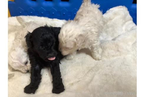 トイプードルの子犬(ID:1273811004)の1枚目の写真/更新日:2020-10-29