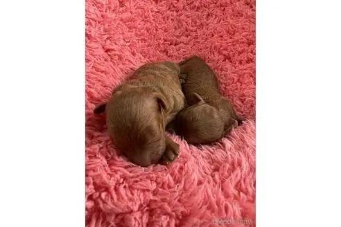 トイプードルの子犬(ID:1273811005)の1枚目の写真/更新日:2020-10-29