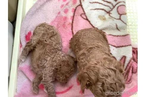 トイプードルの子犬(ID:1273811022)の1枚目の写真/更新日:2021-08-19