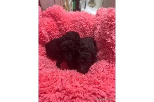 トイプードルの子犬(ID:1273811034)の1枚目の写真/更新日:2021-07-31