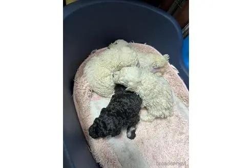 トイプードルの子犬(ID:1273811035)の1枚目の写真/更新日:2021-07-31