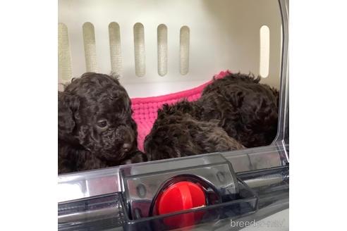 トイプードルの子犬(ID:1273811036)の1枚目の写真/更新日:2021-07-31