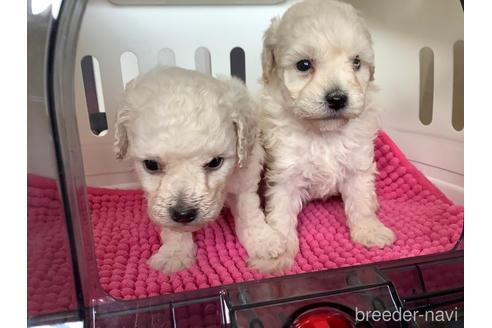 スタンダードプードルの子犬(ID:1273811041)の1枚目の写真/更新日:2021-07-31