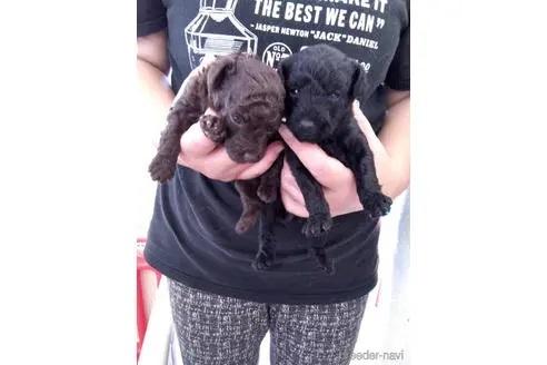 トイプードルの子犬(ID:1273811046)の1枚目の写真/更新日:2021-08-19