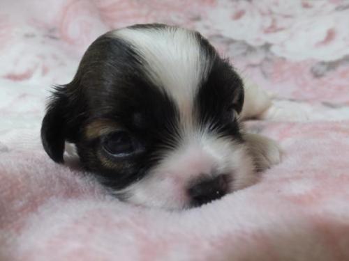 ミックスの子犬(ID:1273911003)の1枚目の写真/更新日:2018-08-10
