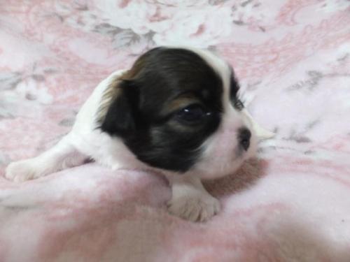 ミックスの子犬(ID:1273911003)の2枚目の写真/更新日:2018-08-10