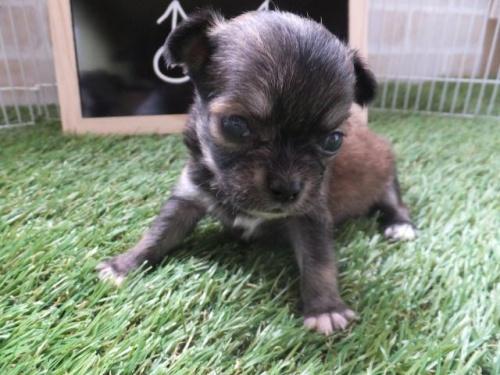 チワワ(スムース)の子犬(ID:1273911005)の1枚目の写真/更新日:2018-08-19
