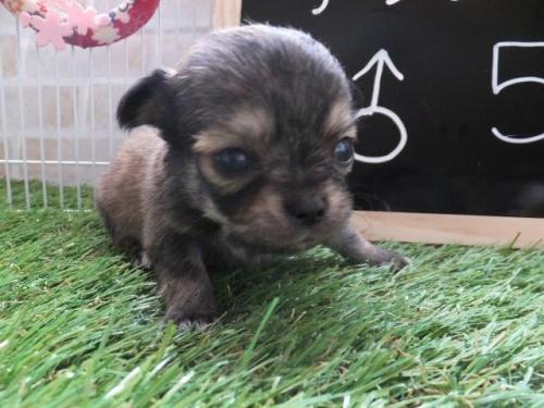 チワワ(スムース)の子犬(ID:1273911006)の1枚目の写真/更新日:2018-08-19