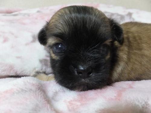 ミックスの子犬(ID:1273911008)の2枚目の写真/更新日:2018-08-24