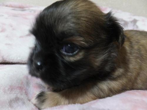 ミックスの子犬(ID:1273911008)の4枚目の写真/更新日:2018-08-24