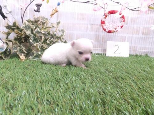 チワワ(ロング)の子犬(ID:1273911027)の3枚目の写真/更新日:2019-04-05