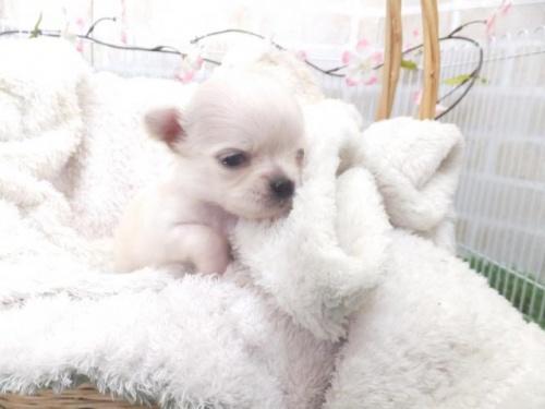 チワワ(ロング)の子犬(ID:1273911028)の3枚目の写真/更新日:2019-04-05