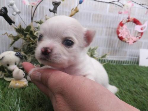 チワワ(ロング)の子犬(ID:1273911029)の1枚目の写真/更新日:2019-04-05