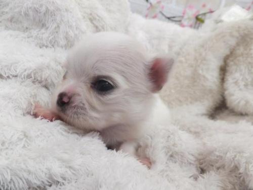チワワ(ロング)の子犬(ID:1273911029)の2枚目の写真/更新日:2019-04-05