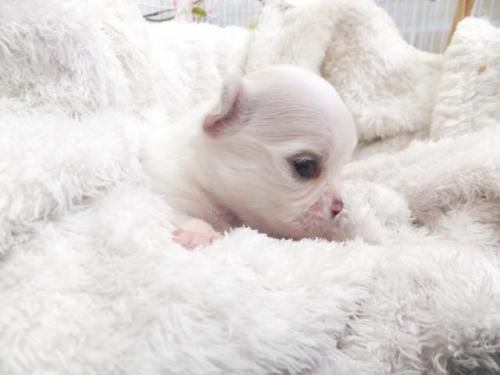 チワワ(ロング)の子犬(ID:1273911029)の3枚目の写真/更新日:2019-04-05