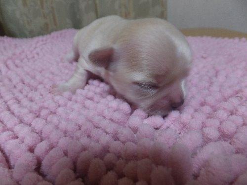 チワワ(ロング)の子犬(ID:1273911031)の2枚目の写真/更新日:2019-08-26