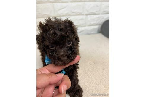 トイプードルの子犬(ID:1273911033)の1枚目の写真/更新日:2021-10-14