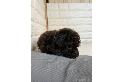 トイプードルの子犬(ID:1273911033)の3枚目の写真/更新日:2021-10-14