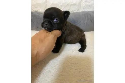 フレンチブルドッグの子犬(ID:1273911039)の1枚目の写真/更新日:2021-10-25