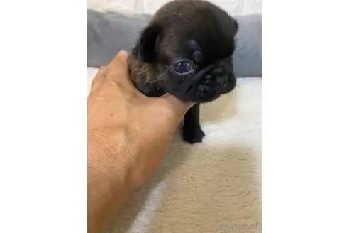 フレンチブルドッグの子犬(ID:1273911039)の3枚目の写真/更新日:2021-10-25